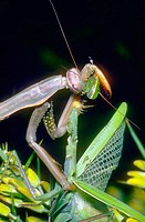 Praying Mantis (Mantis religiosa), cannibalism