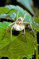 Nursery-web Spider (Pisaura mirabilis) Female carrying egg sac