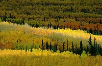 10643142, Alaska, Alaska, highway, tree, trees, birch, birches, wood, forest, birch wood, Canada, North America, dramatic ligh