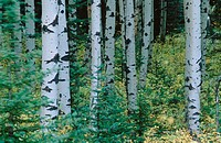 Poplars in Montane Forest. British Columbia. Canada