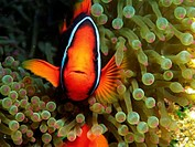 Tropical fish (thumbnail)