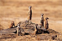 Meerkats, Kalahari Gemsbok National Park, South Africa