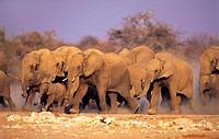 Elephant herd (Loxodonta africana) Etosha National Park, Namibia, Africa
