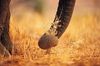 African Elephant trunk grasping vegetation (Loxodonta africana)