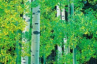 Aspen Trees, New Mexico, USA