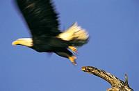 Bald Eagle (Hallaeetus leucocphalus)