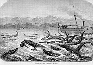 Crocodiles in the Shire river, drawing by A. Neuville. Engraving from 'Le tour du monde'