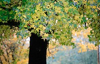 Sweetgum (Liquidamber styraciflua) tree in fall. Pass Creek Park. Western Oregon. USA