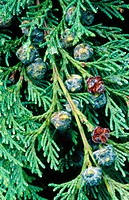 Port Orford Cedar (Chamaecyparis lawsoniana) bough with cones. Southern Oregon Coast. USA