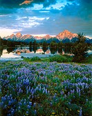 Grand Teton Mountains and Lupines