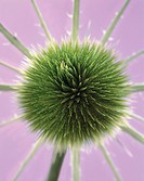 Green thistle (thumbnail)