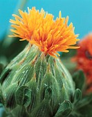 Orange thistle (thumbnail)