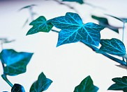 Ivy leaves. Ivy (Hedera sp.) is a woody climbing or trailing vine that is evergreen. Its leaves are lobed and the stems have small roots that allow ...