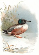 Shoveler.  Historical artwork of a  male  shoveler duck (Anas clypeata).  This duck inhabits wetlands and inland waters  across  much  of  the  northe...