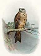 Red kite. Historical artwork of a red kite (Milvus milvus)  perched  on  a branch.  This bird of prey inhabits woodland near open country across most ...