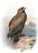 Golden eagle. Historical artwork of a golden eagle (Aquila  chrysaetos).   This  large  bird  of prey inhabits  much  of  northern  Eurasia  and  Nort...