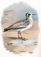 Grey phalarope.  Historical artwork of a grey phalarope  (Phalaropus  fulicarius).  This migratory wading bird breeds in coastal areas in s...