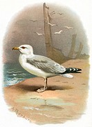 Herring gull. Historical artwork of a herring gull (Larus argentatus) on a beach.  This large gull is found throughout the northern hemisphere, althou...