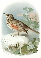 Redwing.  Historical artwork of a redwing  (Turdus iliacus),   a  type of thrush.  This bird inhabits fields and  open  country  in  northern  parts  ...