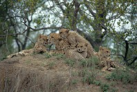 Cheetah and cubs (Acinonyx jubatus).  Female cheetahs give birth to between one and eight cubs after a gestation period of 90-95 days. The you...