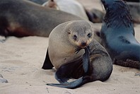 Cape fur seal  (Arctocephalus  pusillus  pusillus) grooming   itself.   The  seal´s  hind  limbs  are modified into flippers for swimming,  but can al...