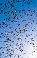 Mexican Free-tailed Bats (Tadarida brasiliensis). Eckert James River Bat Cave Preserve. Texas, USA