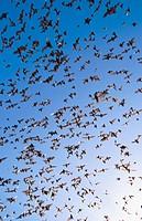 Mexican Free-tailed Bats (Tadarida brasiliensis). Eckert James River Bat Cave Preserve. Texas, USA