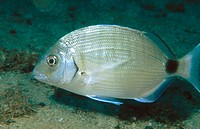 White Sea Bream (Diplodus sargus)