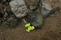 10649457, leaves, rocks, cliffs, contrast, opposition, gray, green, Ile de la Reunion, Indian ocean, gravel, contrast, plant,