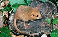 Dormouse (Muscardinus avellanarius)
