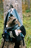 Raccoon (Procyon lotor) raiding a hiker's bag