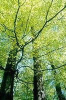 Beech forest. (lat. Fagus sylvatica.) Söderåsen National Park, Skåne, Sweden, Scandinavia, Europe.