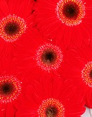 Six Red/yellow Gerbera