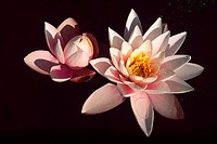 Two Pink/white Waterlilies