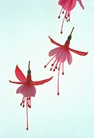 Three Pink/white Fuchsia