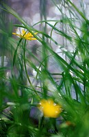 Two Yellow Buttercups