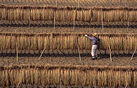 Japan, Takatsuki, rice harvest