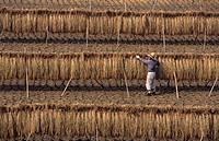 Japan, Takatsuki, rice harvest