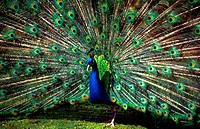 Meadow, blue peacock, Pavo cristatus