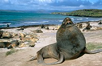New Zealand Sea Lion (Phocarctos hookeri). Enderby Island, New Zeland