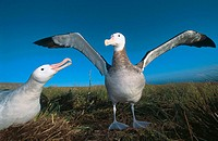 Gibson's Albatross (Diomedea gibsoni) performing courtship. Adams Island, New Zeland