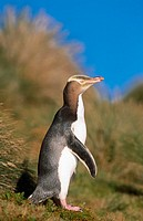 Yellow-eyed Penguin (Megadyptes antipodes), endagered species. Sandy Bay, Enderby Island, New Zealand