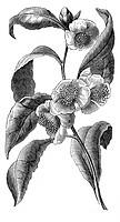 Lebensmittel hist.- Tee, Teepflanze, Zweig Xylografie 19.JH.   botanik, pflanzen, Blüte, Blätter, teeblätter teeblüte