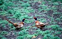 Zoologie, Vögel, Fasan (Phasianus colchicus) zwei Fasane in Wiese, Seitenansicht,  Verbreitung: Europa, Nordamerika, Japan,  Tasmanien, Neuseeland vog...