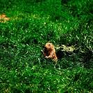 Zoologie, Säugetiere, Präriehund (Cynomys ludovicianus) im Gras sitzend, Verbreitung: Nordamerika
