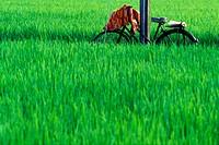 A bicycle in a pad field, Sekinchan, Malaysia
