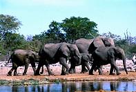 Herd of Elephants, Etosha, Namibia