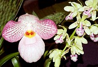 Chinese orchid basis of many hybrids