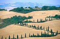 Cypress trees along rural road. Siena province. Tuscany, Italy