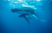 Humpback whale (Megaptera novaeangliae) mother and calf underwater. Breeding migration from Polar to Tropics. All oceans